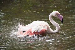 Flamingo/flamingo sjö Royaltyfria Foton