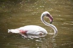 Flamingo/flamingo sjö Royaltyfri Fotografi