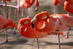 Flamingo sleeping Stock Photography