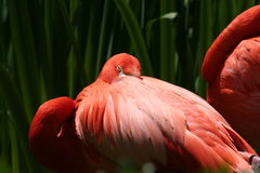 Flamingo sleeping Royalty Free Stock Image