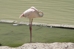 Flamingo sleeping Stock Images