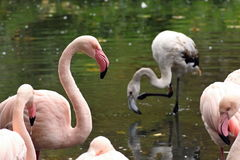 Flamingo small. Picture flamingos small and their young stock photography