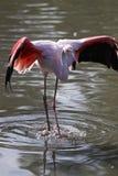 Flamingo solitário Imagens de Stock Royalty Free