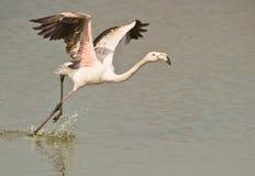 flamingo som är mer stor av att ta Arkivbilder