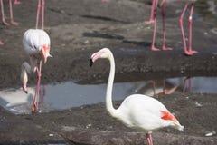 Flamingo som är nära upp med andra i bakgrund Arkivbild