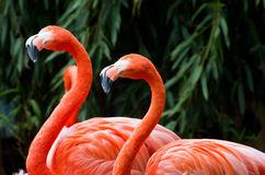 flamingo som ser s arkivfoto
