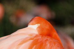 Flamingo som suspiciously håller ögonen på mig Arkivfoto