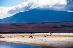 Flamingo som tar av Royaltyfri Fotografi