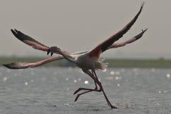 Flamingo som tar av Arkivbilder