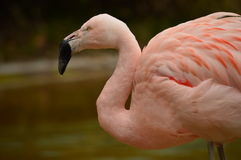Flamingo. South-american flamingo in zoo Royalty Free Stock Photo