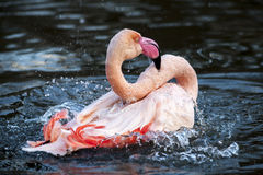 Flamingo Splashing Water. Pink Bird on Lake royalty free stock images