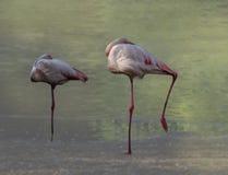Flamingo'sslaap in duet op de rand van het meer stock foto