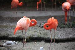 flamingo står med stil royaltyfria foton