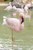 Flamingo stand on one leg. Vertical photo Royalty Free Stock Photography