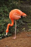 Flamingo standing on one leg Royalty Free Stock Photos