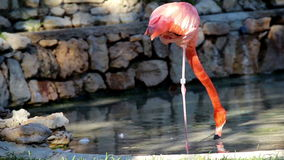Flamingo standing on one leg one-legged ostrich