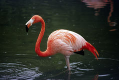 Flamingo Standing In A Pond. Shot of a flamingo feeding in a pond Royalty Free Stock Photography