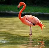 Flamingo standing on two foot Royalty Free Stock Photo
