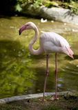 Flamingo standing on two leg Royalty Free Stock Image