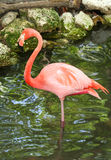 Flamingo Standing in The Water. Greater Flamingo standing in the water in Homosassa Springs,Florida Royalty Free Stock Photos