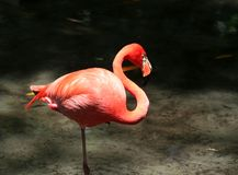 Flamingo standing in The Water. Photo captured in florida Royalty Free Stock Photography