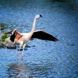 Flamingo standing spreading its wings. stock photography