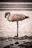 Flamingo stands alone at the edge of a lake Stock Photo