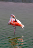 Flamingo stands in water Stock Photography
