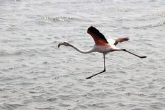 Flamingo starts to fly - Namibia - Namibia Africa stock photos