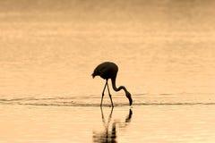 Flamingo at Sunrise Stock Photography