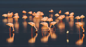 Flamingo on Sunset. Flamingos or flamingoes are gregarious wading birds in the genus Phoenicopterus, the only genus in the family Phoenicopteridae. There are Royalty Free Stock Images