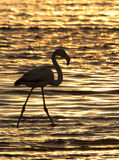Greater Flamingo at sunset - Namibia royalty free stock photos
