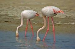 Flamingo'swater Royalty-vrije Stock Afbeelding
