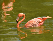 Flamingo swimming Stock Images
