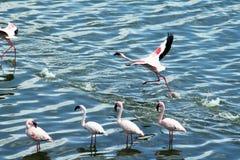 Flamingo take off Royalty Free Stock Photos