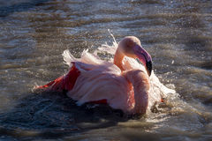 Flamingo taking a bath at sunset in the Camargue , France Royalty Free Stock Images