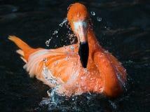 Flamingo. Taking a bath, water drops Stock Image
