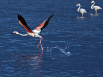 Flamingo taking off Stock Photo