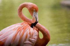 Flamingo tangled up. Closeup of a flamingo tangled up Royalty Free Stock Image