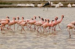 Flamingo team. Pink flamingo in Nakuru National Park in Kenya Royalty Free Stock Image