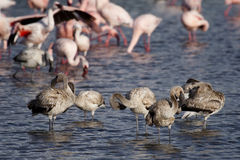 Flamingo teenagers, Lake Nakuru, Kenya Stock Photos
