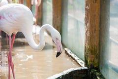 Flamingo in Thailand Stock Afbeeldingen