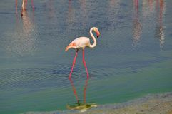 Flamingo with thin pink legs reflected in lake water Royalty Free Stock Photo