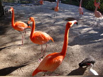 Flamingo. Three flamingo buddies Stock Photo