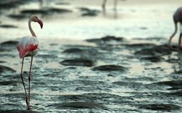 Flamingo in tidelands Stock Photos