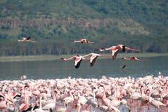 Flamingo tijdens de vlucht stock afbeeldingen