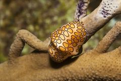 Flamingo tongue Royalty Free Stock Photo
