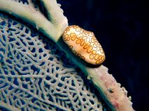 Flamingo Tongue Stock Photo