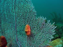 Flamingo Tongue. Two Flamingo Tongues on fan coral Stock Images
