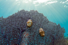 Flamingo tongue Gastropod. Two colorful little gastropods on a fan coral in the Caribbean Royalty Free Stock Photos